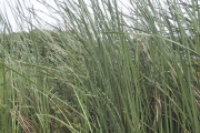 <strong>Typhaceae - Typha domingensis Pers.</strong><br />©