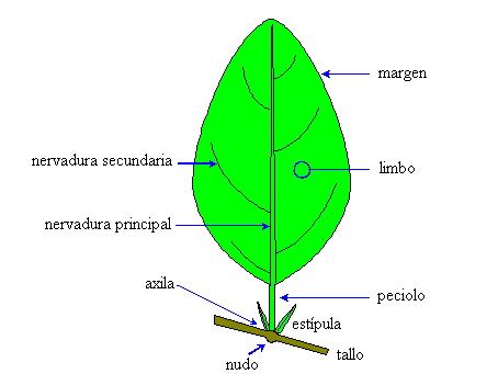 Riceweeds es glosario pl ntnet for Plante synonyme