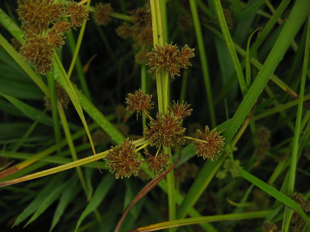 Cyperus difformis L. [Species] - Images