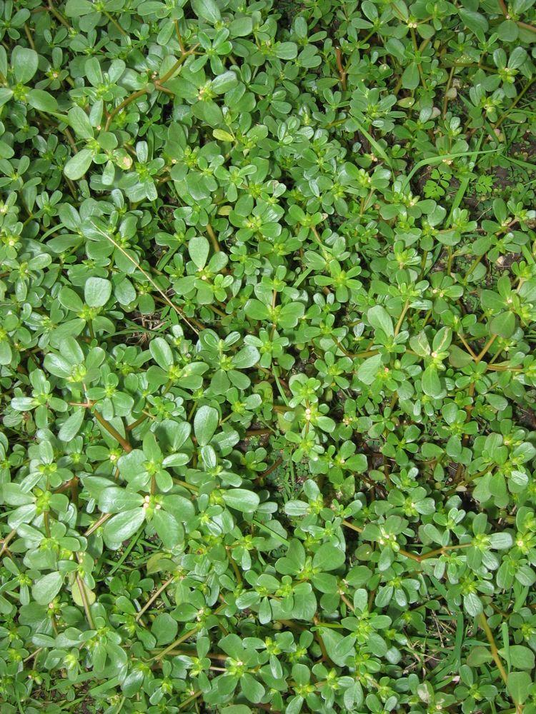 Portulaca oleracea L. [Species] - Images